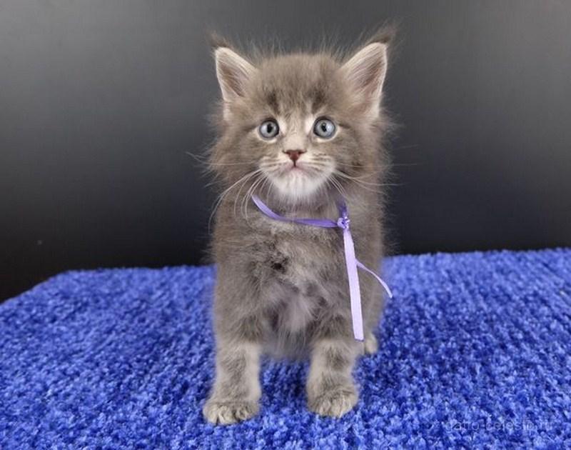 Картинка 21 котенок мейн кун Вальтер Гатто Челесто голубой серебряный мрамор