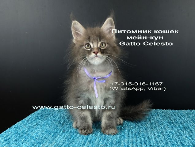 Картинка 11 котенок мейн кун Вальтер Гатто Челесто голубой серебряный мрамор