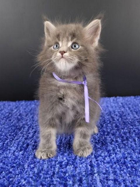 Картинка 22 котенок мейн кун Вальтер Гатто Челесто голубой серебряный мрамор
