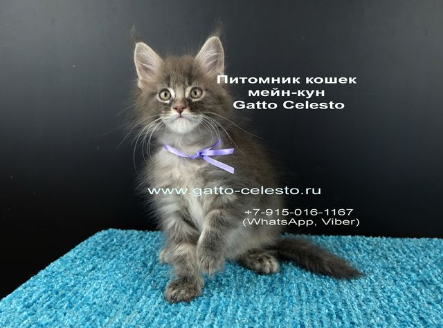 Картинка12 котенок мейн кун Вальтер Гатто Челесто голубой серебряный мрамор