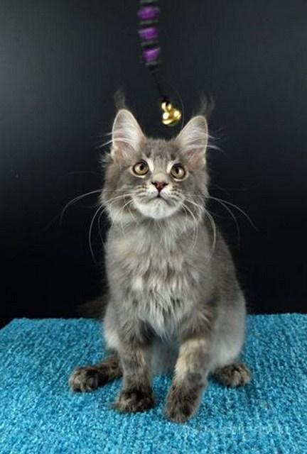 Картинка 2 котенок мейн кун Вальтер Гатто Челесто голубой серебряный мрамор