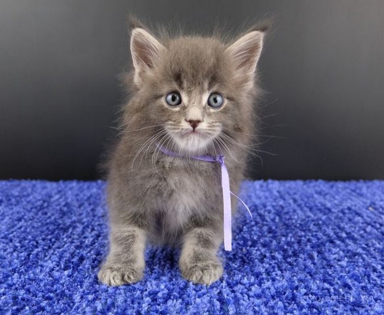 Картинка 23 котенок мейн кун Вальтер Гатто Челесто голубой серебряный мрамор