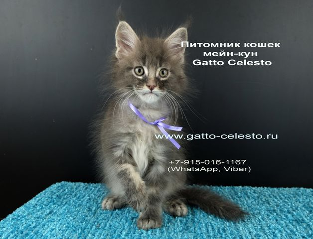 Картинка 131 котенок мейн кун Вальтер Гатто Челесто голубой серебряный мрамор