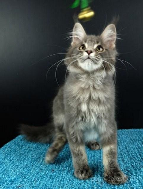 Картинка 3 котенок мейн кун Вальтер Гатто Челесто голубой серебряный мрамор