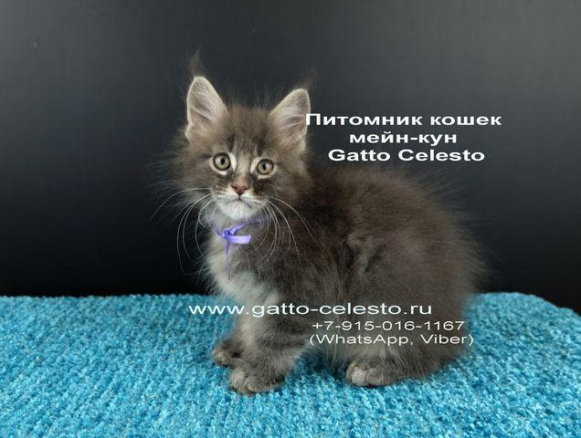 Картинка 14 котенок мейн кун Вальтер Гатто Челесто голубой серебряный мрамор