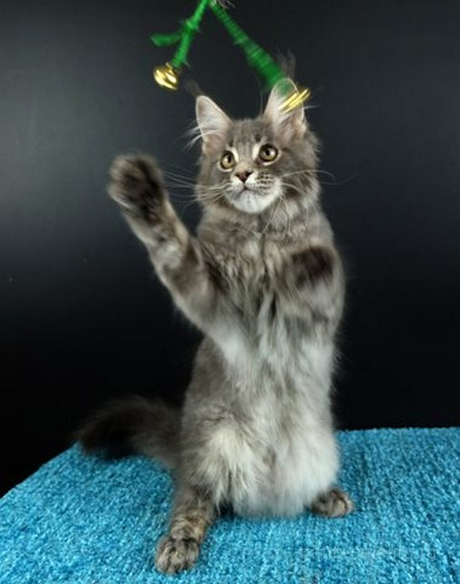 Картинка 4 котенок мейн кун Вальтер Гатто Челесто голубой серебряный мрамор
