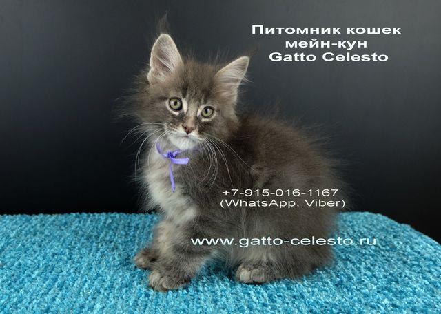 Картинка 15 котенок мейн кун Вальтер Гатто Челесто голубой серебряный мрамор