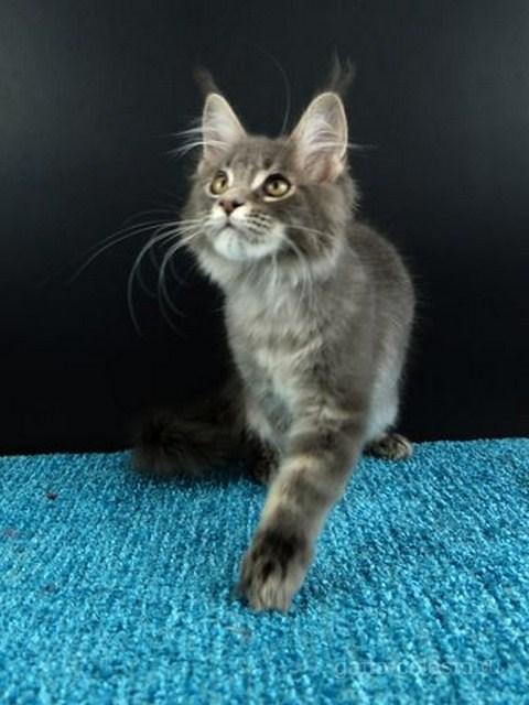 Картинка 5 котенок мейн кун Вальтер Гатто Челесто голубой серебряный мрамор