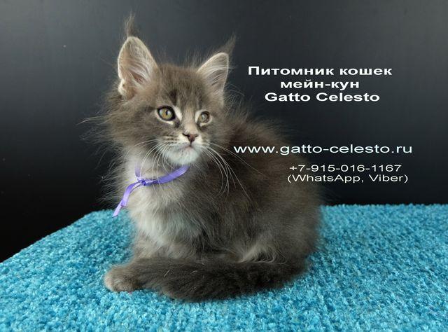 Картинка 16 котенок мейн кун Вальтер Гатто Челесто голубой серебряный мрамор