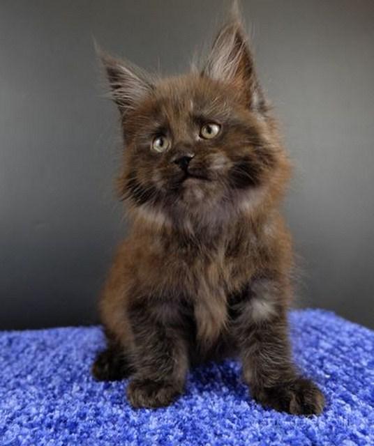 Картинка 6 котенок мейн кун Фелипе Масса Гатто Челесто черный дым (ns)