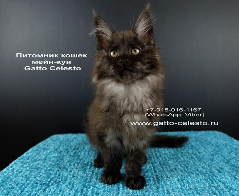 Картинка 4 котенок мейн кун Фелипе Масса Гатто Челесто черный дым (ns)