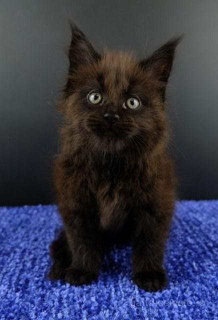 Картинка 9 котенок мейн кун Фернандо Алонсо черный солид (n 09)