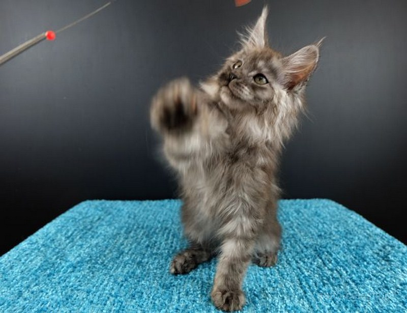 Картинка 5 котенок мейн кун Нико Эрик Росберг Гатто Челесто черный серебряный мраморный (ns 22)