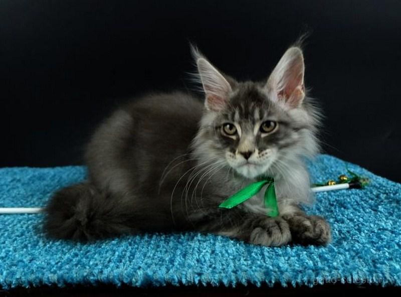 Котенок мейн кун картинка Вальмонт Гатто Челесто 3,5 мес голубой серебряный мрамор