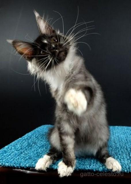 Картинка 6 котенок мейн кун Виконт Гатто Челесто черный серебряный тигровый с белым (ns 23 09)