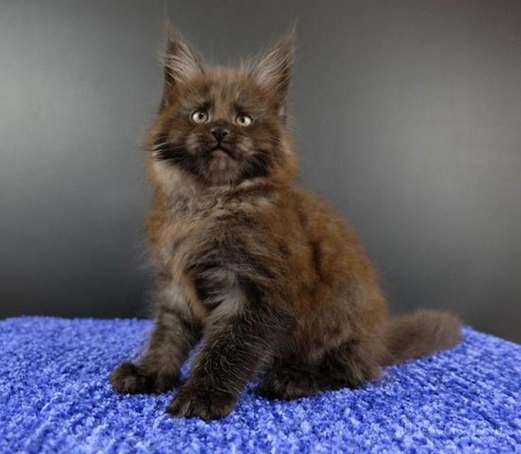 Картинка 5 котенок мейн кун Фелипе Масса Гатто Челесто черный дым (ns)