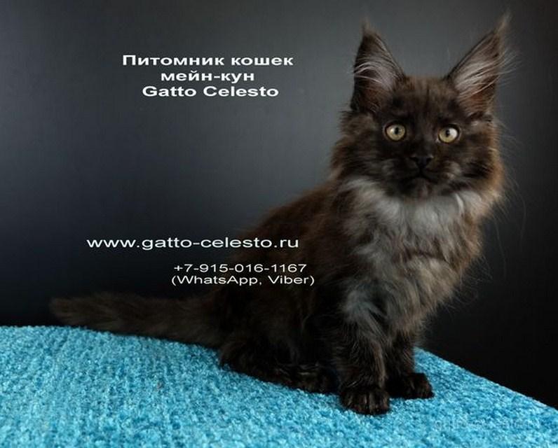 Картинка 3 котенок мейн кун Фелипе Масса Гатто Челесто черный дым (ns)