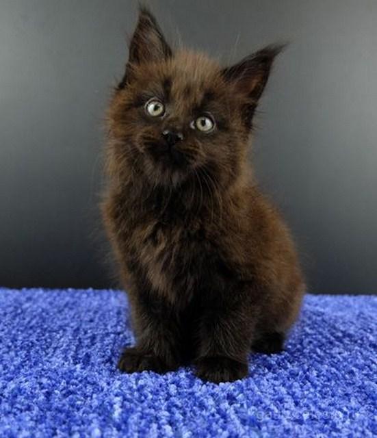 Картинка 8 котенок мейн кун Фернандо Алонсо черный солид (n 09)