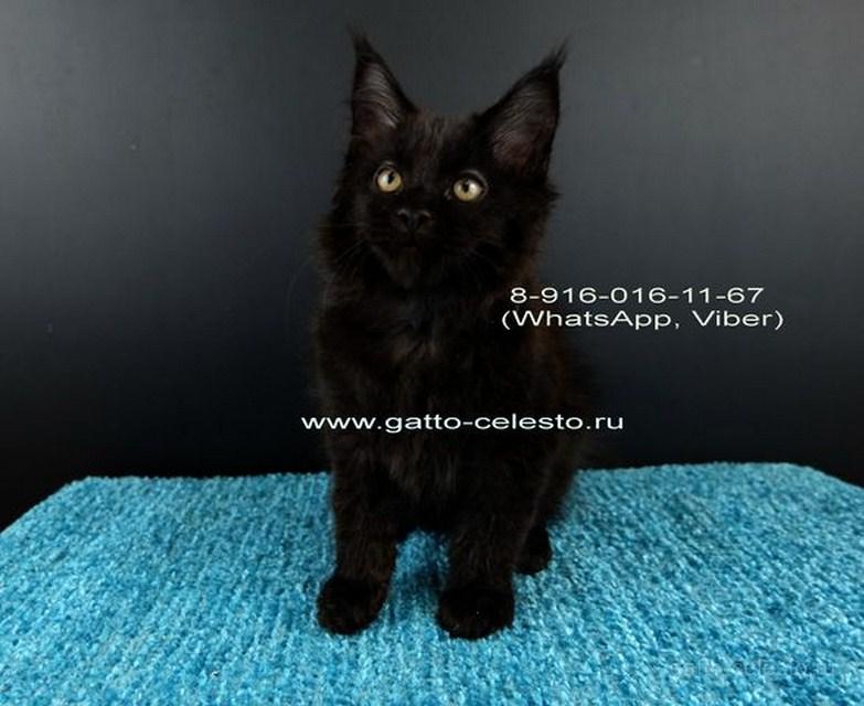 Картинка 5 котенок мейн кун Фернандо Алонсо черный солид (n 09)