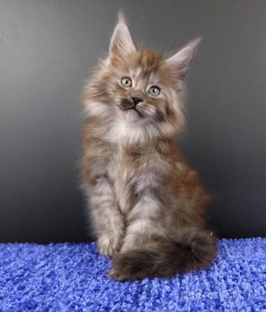 Картинка 6 котенок мейн кун Нико Эрик Росберг Гатто Челесто черный серебряный мраморный (ns 22)