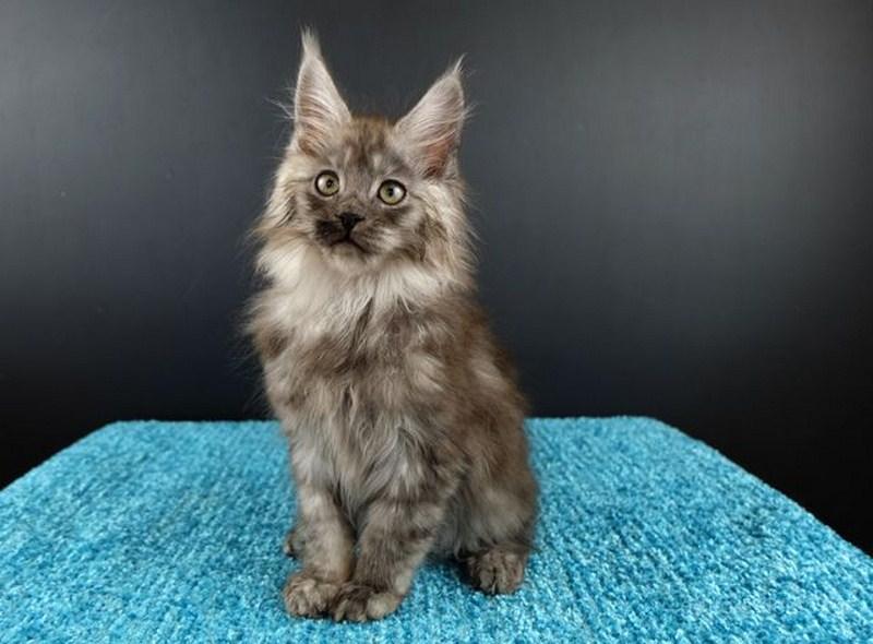 Картинка 4 котенок мейн кун Нико Эрик Росберг Гатто Челесто черный серебряный мраморный (ns 22)
