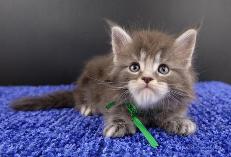 Котенок мейн кун картинка 2 Вальмонт Гатто Челесто 1 месяц