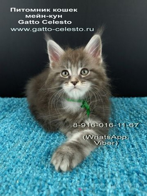 Котенок мейн кун картинка 2 Вальмонт Гатто Челесто 2 месяца
