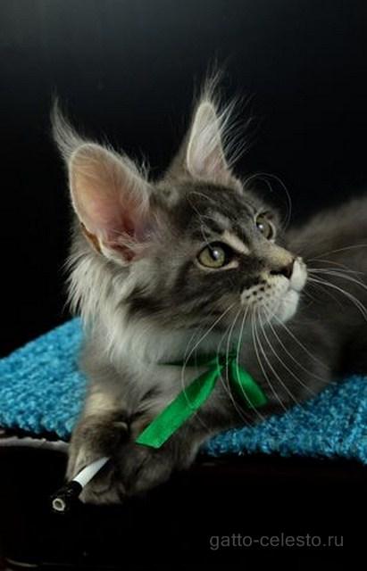 Котенок мейн кун картинка 2 Вальмонт Гатто Челесто 3,5 мес голубой серебряный мрамор