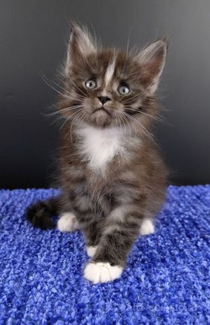 Картинка 8 котенок мейн кун Виконт Гатто Челесто черный серебряный тигровый с белым (ns 23 09)