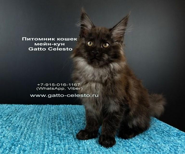 Картинка 1 котенок мейн кун Фелипе Масса Гатто Челесто черный дым (ns)