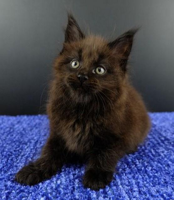 Картинка 7 котенок мейн кун Фернандо Алонсо черный солид (n 09)