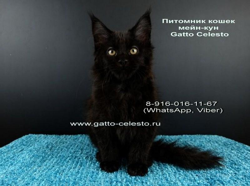 Картинка 4 котенок мейн кун Фернандо Алонсо черный солид (n 09)