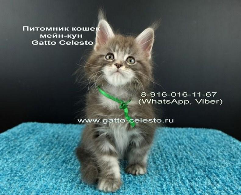 Котенок мейн кун картинка 3 Вальмонт Гатто Челесто 2 месяца