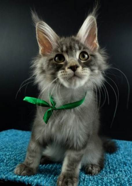 Котенок мейн кун картинка 3 Вальмонт Гатто Челесто 3,5 месяцев