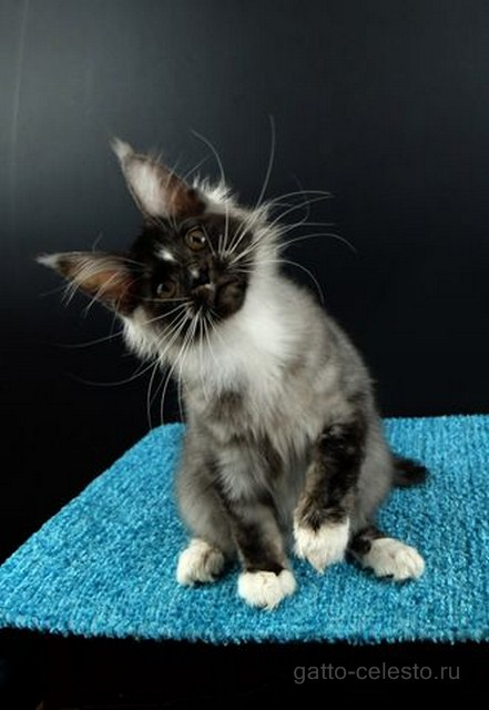 Картинка 4 котенок мейн кун Виконт Гатто Челесто черный серебряный тигровый с белым (ns 23 09)