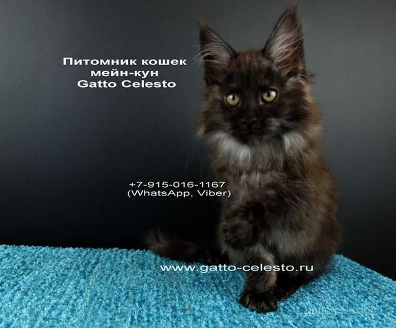 Картинка 2 котенок мейн кун Фелипе Масса Гатто Челесто черный дым (ns)