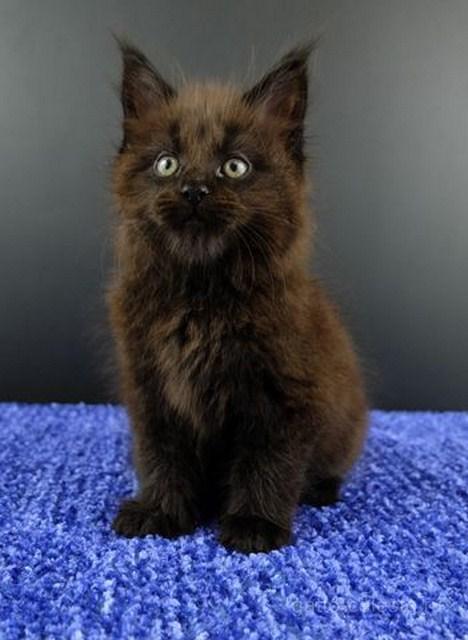 Картинка 6 котенок мейн кун Фернандо Алонсо черный солид (n 09)