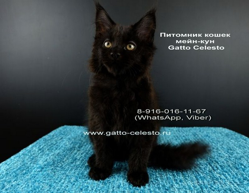 Картинка 3 котенок мейн кун Фернандо Алонсо черный солид (n 09)