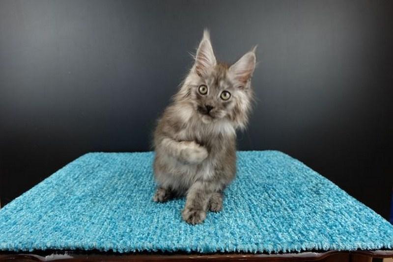 Картинка 2 котенок мейн кун Нико Эрик Росберг Гатто Челесто черный серебряный мраморный (ns 22)