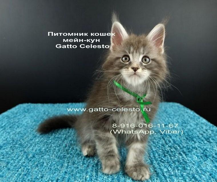 Котенок мейн кун картинка 4 Вальмонт Гатто Челесто 2 месяца