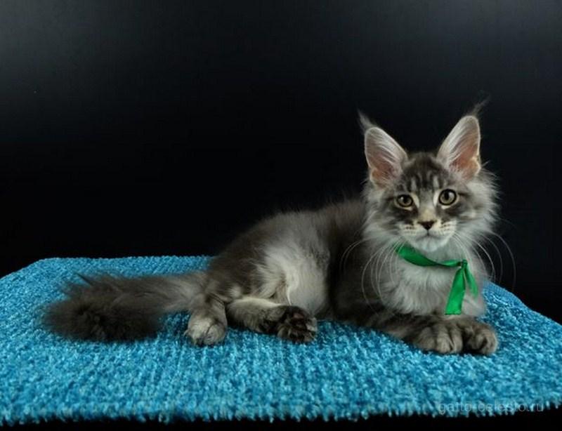 Котенок мейн кун Вальмонт Гатто Челесто голубой серебряный тигровый 4