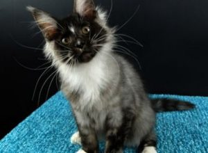 Картинка 3 котенок мейн кун Виконт Гатто Челесто черный серебряный тигровый с белым (ns 23 09)