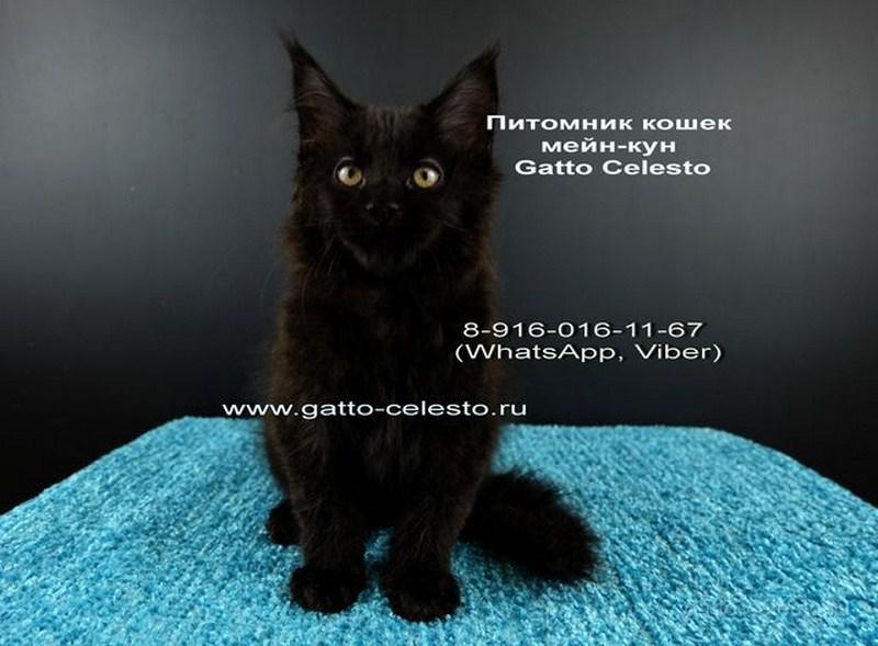 Картинка 2 котенок мейн кун Фернандо Алонсо черный солид (n 09)