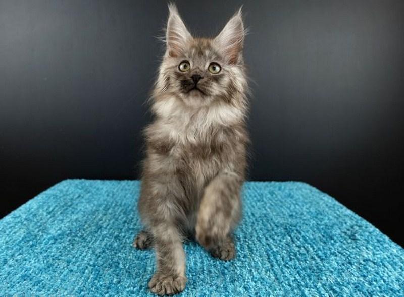 Картинка 1 котенок мейн кун Нико Эрик Росберг Гатто Челесто черный серебряный мраморный (ns 22)