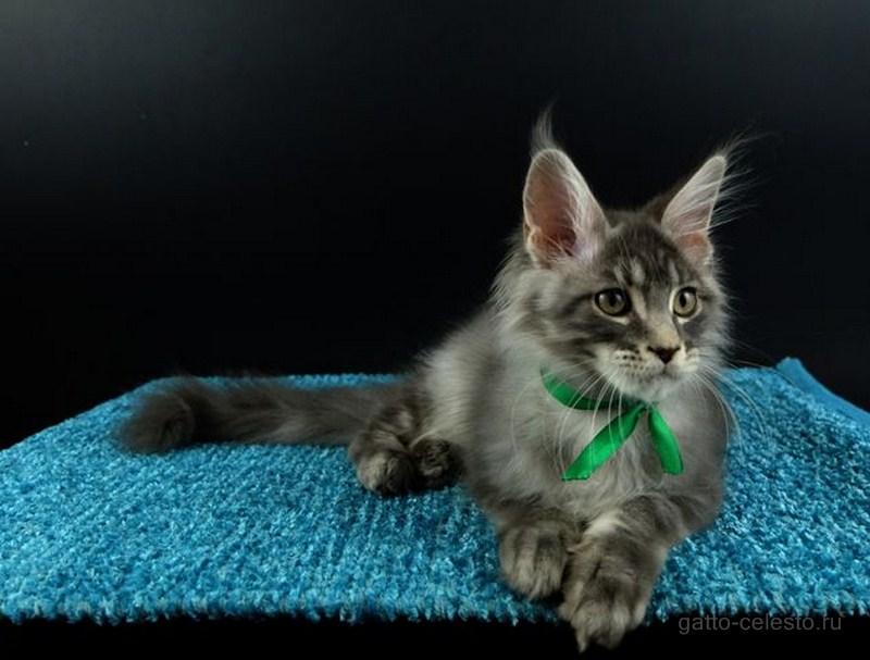 Котенок мейн кун картинка-5-Valmont-Gatto-Celesto голубой серебряный мрамор