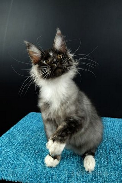 Картинка 2 котенок мейн кун Виконт Гатто Челесто черный серебряный тигровый с белым (ns 23 09)