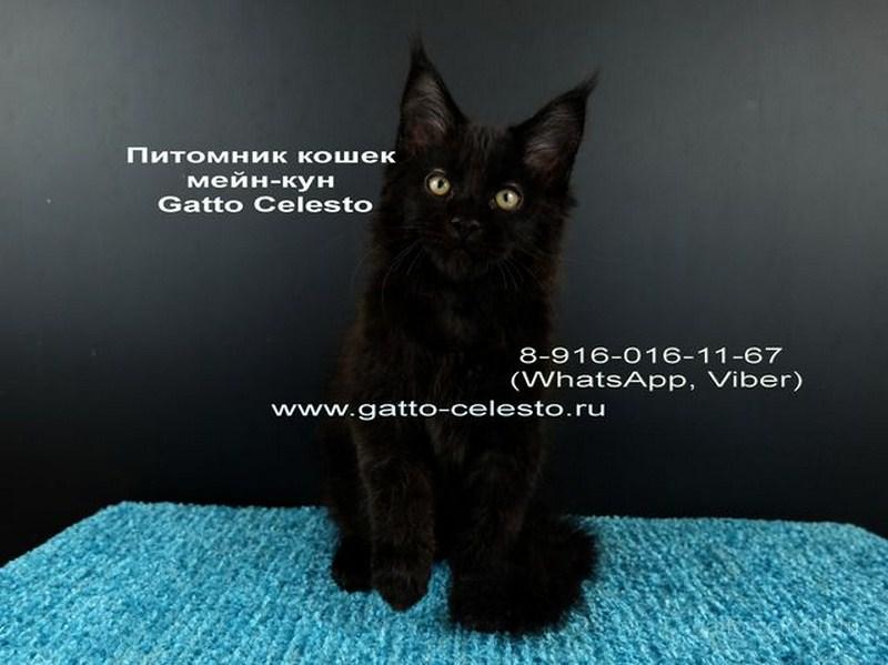 Картинка 1 котенок мейн кун Фернандо Алонсо черный солид (n 09)