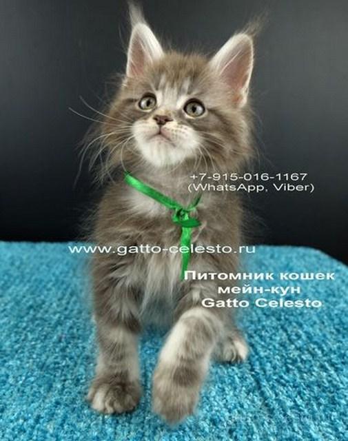 Котенок мейн кун картинка 6 Вальмонт Гатто Челесто 2 месяца