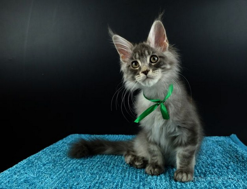 картинка 1 котенок мейн кун Вальмонт голубой серебряный мрамор