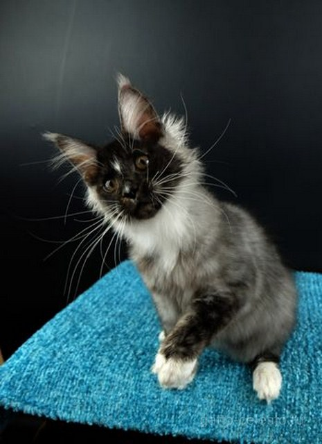 Картинка 1 котенок мейн кун Виконт Гатто Челесто черный серебряный тигровый с белым (ns 23 09)